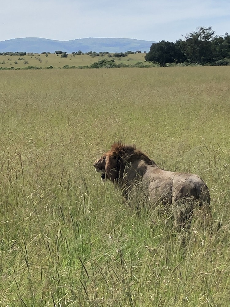 Simba checking his kingdom in the Masai Mara
